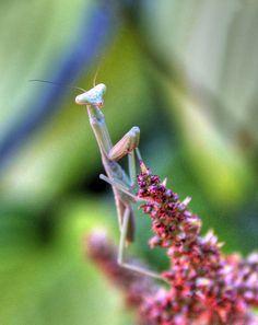 The Praying Mantis Waits, via Flickr.
