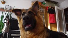At first, this adorable German Shepherd puppy tries to make sense of the very strange animal noises he hears. Then all of a sudden, he wants to join in.