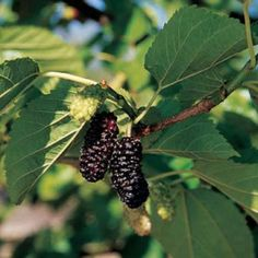 Make food a permanent part of your yard by planting fruit and nut trees. It's part of permaculture or edible landscapes, according to Lockwood's Greenhouses. Mulberries grow on trees, but you can prune them into a bush. Find out more by clicking back to the article. Photo courtesy One Green World