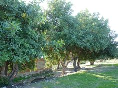 In Spain it is generally known as the Algarrobo Tree, elsewhere as the Carob Tree or even St John's-bread. The Algarrobo, Ceratonia siliqua, is a species of flowering evergreen shrub or tree …