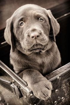 "The Eyes Have It""The Eyes Have It""Ten eight-week old chocolate labs made for..."
