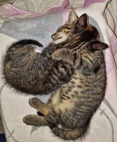 7 week-old brother & sister cuddled asleep #cat kitte cute