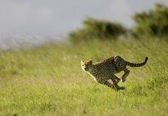 Running cheetah/Бегущий гепард