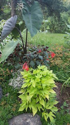 Planter.  Colocasia. Tassel fuchsia, potato vine and diamond frost Euphorbia.  Yellow House Landscape Design.