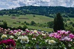 Tag der Rosen in der Staudengärtnerei Gräfin von Zeppelin, Laufen