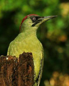 Groene Specht, Green Woodpecker.