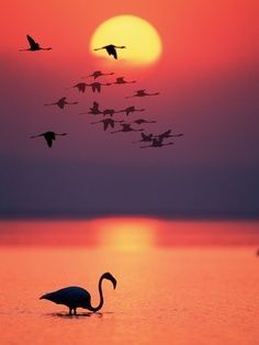 Flamingos at Sunset mother nature moments Beautiful Sunset Pictures, Beautiful Sunrise, Beautiful Birds, Beautiful World, Nature Pictures, Cool Pictures, Amazing Sunsets, Amazing Nature, Greater Flamingo