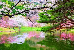 Cherry Blossoms, Reflected in the views of the cherry Mizukagami, Japan