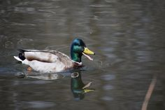 Enjoy this Photo Gallery of Duck Pictures Fitness Trail, Duck Pictures, Duck Pond, How To Find Out, Photo Galleries, Wildlife, Ducks, Nature, Outdoors