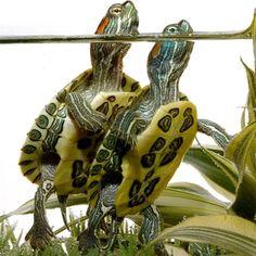 turtle turtle turtle Señor Turttleton & Mademoiselle Turdoux!