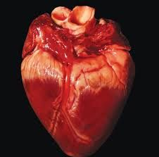 Billedresultat for heart human real