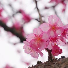 【an______zs】さんのInstagramをピンしています。 《. .  八重岳  桜まつり🌸 . .  1月の桜🌸  不思議な感覚だけど  桜見ごろだった☺🌸 .  沖縄の桜  色が濃ゆい🌸 .  ソメイヨシノみたいに  ボリュームはないけど  ころん。としてて可愛かった🌸  何より色が綺麗😋🌸 . 季節の花って魅力的🌸🌴 .  #沖縄#名護#八重岳#桜#桜まつり #花#ピンク#四季 #カメラ#カメラ女子 #ファインダー越しの私の世界 #写真好きな人と繋がりたい #写真 #一眼レフ #可愛い #花びら #ドライブ #okinawa #cherryblossom #flower #camera#love #pink #photo #happy #smile #girl #drive #🌸 #☺️》