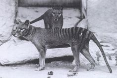 "The thylacine (Thylacinus cynocephalus), Greek for ""dog-headed pouched one"" was the largest known carnivorous marsupial of modern times. It is commonly known as the Tasmanian tiger (because of its striped back) or the Tasmanian wolf."