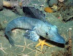 深海魚、新種 :Deep-sea fish, new species