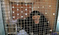 Smoking chimp from Iraq finds refuge in…