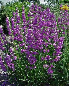 Deep lavender-blue. Dark green clumps of foliage penstemon mesa