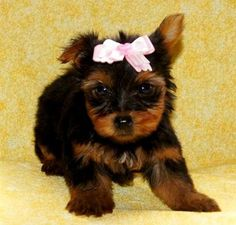 57 Best Dogs images in 2017 | Yorkie, Yorkies, Yorkshire