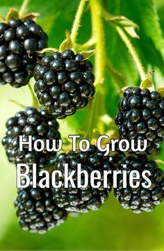 Growing Blackberries – How To Grow The Taste Of Summer At Home! #howtogrowblackberries #growingblackberries #blackberries #oldworldgardenfarms