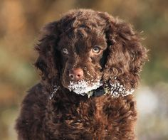American Water Spaniel Puppies USA | All Puppies Pictures and ...