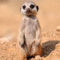 Meerkats are just too cute!! @adorable_animals