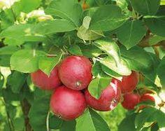 omenapuu - Google-haku