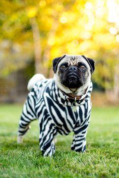 handsomedogs: Lauren Pretorius | Zebra Pug