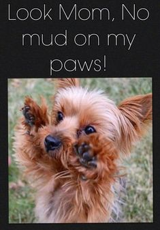 So little and so difficult not to love! See why at www.barkingtails.com #yorkshireterrier