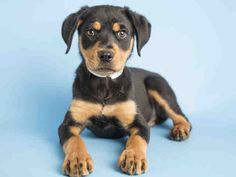 10-week-old Rottweiler puppy available for adoption at the Arizona Humane Society!