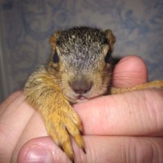 I've always, always, always wanted a squirrel for a pet - I'd settle with getting to hold one though...