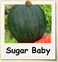 Sugar Baby is an early season watermelon, coming to maturity approximately 75 days after germination. The small size of the fruits, and relatively short time to harvest, make Sugar Baby on of the easier varieties to cultivate. Sugar Baby melons typically do not exceed 10 pounds, with flavor red flesh and a light green rind with dark stripes.
