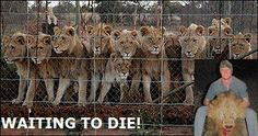 "SPEAK OUT!!! TELL SOUTH AFRICA:  STOP COWARDLY & BRUTAL ""CANNED HUNTING"" OF LIONS!  The New Zealand Herald reports that the African lion population has been diminished by 75% in the past 20 years!  HELP STOP THIS ABOMINABLE CRUELTY!  PLZ SIGN AND SHARE! still active 9-4-14"