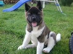 Akita pup ~ They are well known for their distinct smiles :o)