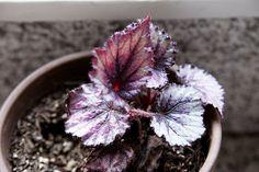 Cómo cultivar begonias Rex   Apartment Therapy