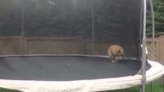 Mudd, the Bulldog on a trampoline | The 30 Best Dogs Of 2012