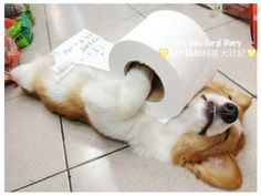 And this is what Emo looks like sleeping under a roll of toilet paper. | Meet The Two Most Emo Corgis In Taiwan