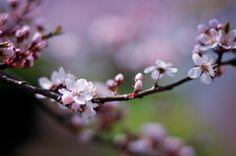 Cereja, ramo, galho, flores cor de rosa, pétalas, luz, borrão, Primavera, natureza, macro