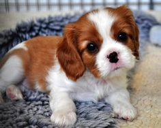 Awwwww soooo cute man that was a lot of letters huh Cavalier King Charles Blenheim, King Charles Puppy, King Charles Spaniel, Cavalier King Spaniel, Cute Puppies, Cute Dogs, Spaniel Puppies, Tier Fotos, Little Dogs
