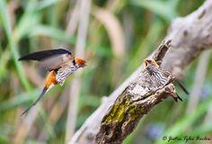 Feeding time for the Lesser Striped Swallows on the Amakhala Game Reserve. #amakhala #safari #birdlife