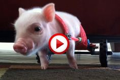 Pig In Wheelchair Video #animals, #videos, https://facebook.com/apps/application.php?id=106186096099420