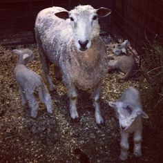 Colonial Williamsburg Lamb Triplets