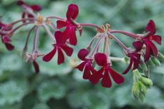 Everything you need to know about Black Pelargonium (Pelargonium sidoides), including propagation, ideal conditions and common pests and problems. Colorful Flowers, Purple Flowers, Cold And Flu Medicine, National Botanical Gardens, Backyard Plants, Healthy Herbs, Hardy Perennials, Types Of Soil, Companion Planting