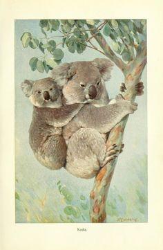 K. E. Hartig - Koala - from Brehms Tierleben (Brehm's Animal Life) - 1911