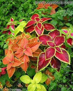 colorful shrubs and bushes | Colorful Plants ( #2181 )