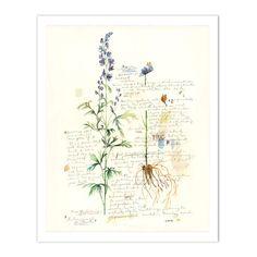 Aconite - Plants and medicinal herb series #2