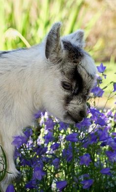 doesn't get much cuter than a baby goat, and especially if they are Mini ones.  I'd love to have a place where I could have 2 or 3 of them.