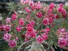 Adenium obesum Wüstenrose 5 Samen /'Pink heart/'