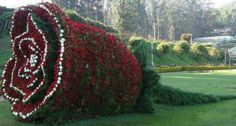 floral topiary sculpture of a cut rose Amazing Flowers, Beautiful Roses, Beautiful Gardens, Ooty, Topiary Garden, Garden Art, Flowers Garden, Flower Show, Flower Art
