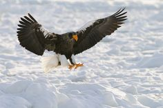 Steller's Sea Eagle  -  Japan   by Harry  Eggens on 500px