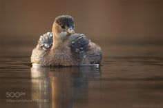 Little grebe by as-berlin via http://ift.tt/2iXj0xx