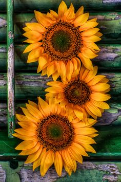 Sunflower Still Life by Jim Crotty